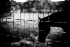 Horse (Khunya Lamat Pan) Tags: leica blackandwhite horse film monochrome animal silhouette 35mm fence 50mm moody dof bokeh voigtlander gritty depthoffield ilford m6 50iso f15 filmphotography