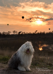 Sarah's special sunset (dewollewei) Tags: old dog hot english dogs air sheepdog balloon hund bobtail luchtballon oes oldenglishsheepdog oldenglishsheepdogs dewollewei oldenglishsheepsdog sophieandsarah sophieensarah