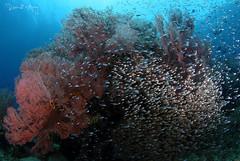 Stars (Randi Ang) Tags: bali fish glass canon indonesia photography eos underwater angle wide dive scuba diving fisheye ang 15mm randi 6d schooling amed jemeluk