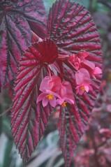 Rosy leaves and flowers of an Angel Wing Begonia at Smith College (jungle mama) Tags: pink red leaf ngc begonia tropicalplant smithcollege angelwingbegonia lymanplanthouse coth5