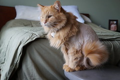 The Domesticated Lion 4.9.16 (Dullboy32) Tags: haircut animal cat funny shaved lion butter lionhaircut dullboy32 thedomesticatedlion