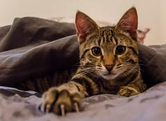 DSC_0015-1 (chat_44) Tags: cat chat animaux yoshi chaton flin miaou tigr rwing