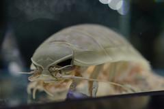 20160411 NIFREL 6 (BONGURI) Tags: zoo aquarium nikon jp   osaka   senri expopark      giantisopod d3s expocity   afsnikkor28mmf18g  nifrel