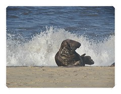 Surf Boy ! (mr_snipsnap) Tags: sea beach mammal grey coast sand surf atlantic seal
