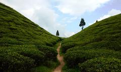 Golpahar tea gardens : Darjeeling district, West Bengal, India.  [ EXPLORED ] (biswarupsarkar72) Tags: tea teagarden darjeeling westbengaltourism tourismofbengal teagardensofwestbengal golpaharteagarden