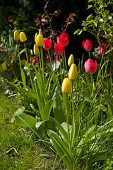 Frhling Tulpen Rot Gelb (rieblinga) Tags: leica rot gelb r beet garten frhling tulpen dmr