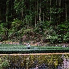 Asahina River Green Tea (Tonx-) Tags: green film japan tea kodak hasselblad portra shizuoka