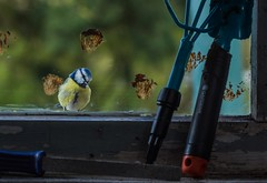 Lookin' in. (Ian Thorp) Tags: bird window animal germany garden deutschland vogel pesserine sb700 phottixodin nikond7200 sigma105128vrmacro