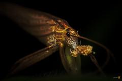 2016-04-22 Macro Katydid-7015- (The Bonding Tool) Tags: macro animal insect bugs closeups katydid macrophotography insectphotography samanthahan thebondingtoolblog macroinsingapore bugsandgrubs