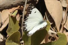 IMG_5330 Belenois gidica (Raiwen) Tags: butterflies lepidoptera westafrica senegal dakar pieridae pierinae belenois belenoisgidica parcforestieredehann