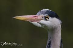 Grey Heron-4 (Neil Phillips) Tags: bird heron grey aves ardea longneck ardeacinerea longlegs ardeidae greyheron pelecaniformes cinerea neoaves
