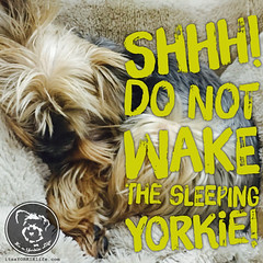 Its a rule right? (itsayorkielife) Tags: yorkie quote yorkshireterrier yorkiememe
