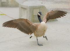 Let's Dance. (Omygodtom) Tags: bird outdoors nikon bokeh wildlife dancer goose tamron90mm d7100 urbunnature