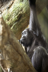 Photo of the Week: April 29 (Lincoln Park Zoo) Tags: chicago gorilla il patty usausa regensteincenterforafricanapes aperil