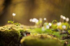 soft green (Rainer Schund) Tags: macro green nature nikon soft alone bokeh natur 85mm grn moor makro moos nahaufnahme weich unschrfe nikond700 natureexploring moosbett