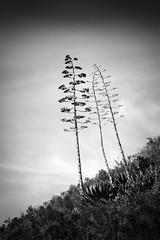 Three Slender Trees (StefanB) Tags: california sky bw tree monochrome three outdoor pismobeach geotag slope treescape 2016 em5 45200mm