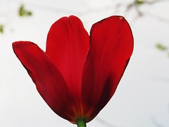 IMG_9454 (kennethkonica) Tags: red usa plant flower color nature beauty america canon spring stem midwest random outdoor vibrant indianapolis vivid indy indiana petal april global hoosiers canonpowershot marioncounty unidentiiedplant