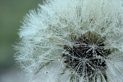Make a Wish (ursulamller900) Tags: macro droplets dandelion lwenzahn extensiontubes