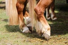 IMG_8876 (dreiwn) Tags: horse germany carriage kutsche pony german horseshow pferde pferd horsecarriage dressage pferdekutsche dressur heste dressyr pferdekopf dressuur ridingarena horsedriving pferdesport reitplatz reitverein fahrturnier dressurpferd dressurprüfung gespannfahren