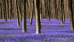 Blue bell forest (cat.preen) Tags: blue england stilllife plants green beautiful bluebells forest landscape photography photo spring nikon colours wildlife hampshire capture winchester bestpic