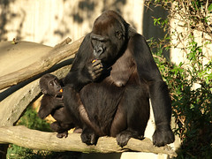 The lesson - Happy Mothers Day! (US Department of State) Tags: animals babies mothers nationalzoo cubs motherhood youngster mothersday zooanimals smithsonianinstitution