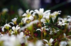 Together (Wim van Bezouw) Tags: white plant flower nature outdoor selectiveconceptualdof