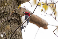 Red-headed Woodpecker - 4 (RGL_Photography) Tags: nature birds us newjersey woodpecker unitedstates wildlife jackson jerseyshore ornithology oceancounty mothernature gardenstate redheadedwoodpecker melanerpeserythrocephalus wildlifephotography colliersmillswildlifemanagementarea nikond610 nikonafs200500mmf56eedvr