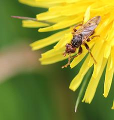 Thick-headed Fly (Myopa testacea) (RiverCrouchWalker) Tags: garden insect fly spring may essex invertebrate rhs hydehall 2016 conopidae thickheadedfly rettendon rhshydehall myopatestacea