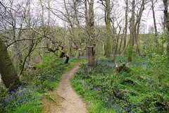 Mill Stream Rushmere (nonsuchtony) Tags: mill st bluebells stream andrew boardwalk rushmere ipwich sandlings