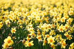 Flowers (Amren1985) Tags: flowers holland four spring bokeh panasonic micro lente texel thirds narcissen gx7 panasonic35100mmf28