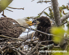 Bald Eagle and Eaglet (Mike Black photography) Tags: new white black bird mike nature canon lens photography big eagle body year birding bald nj shore jersey april 800mm 2016 5ds