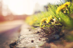 Throw kindness around like confetti. (Sandra H-K) Tags: flowers green nature sunshine yellow backlight outside spring flora dof bokeh outdoor dandelion depthoffield april ontheground springtime sunflare