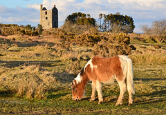 Bodmin Moor pony, Cornwall (Baz Richardson) Tags: cornwall ponies bodminmoor minions tinmines enginehouses