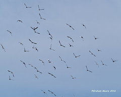 Formation Manoeuvres (Carbonman_) Tags: birds pigeons
