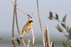 Common Yellowthroat - Male (brian.bemmels) Tags: male bc delta common yellowthroat commonyellowthroat brunswickpoint