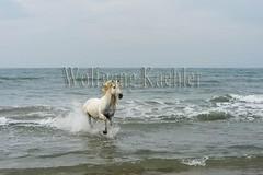 40080618 (wolfgangkaehler) Tags: ocean sea horses horse white france beach water animal french europe mediterranean european running behavior stallion camargue southernfrance galloping 2016 camarguehorses