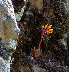 Liveforever--Dudleya cymosa (HoleDog1) Tags: california plant crassulaceae liveforever nevadacounty dudleya dudleyacymosa streeterrd bearrivercliffs