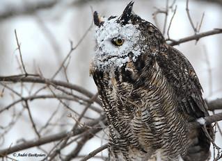 Grand Duc d'Amérique / Great Horned Owl