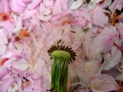 Seeds on pink petals (libra1054) Tags: macro nature rose closeup bokeh outdoor natur rosa natura semi seeds sementes corderosa graines samen semillas