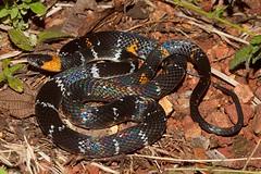 Oxyrhopus melanogenys (jp vacher) Tags: snake oxyrhopus melanogenys