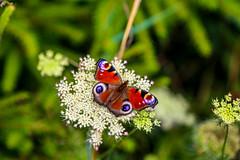 98/365 (Cecilia Adolfsson) Tags: butterfly skne sweden 365 sterlen