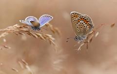 Argus (Jakob Arnholtz) Tags: blue nature butterfly denmark danmark sommerfugl plebejusargus blfugl odsherred argusblue arnholtz