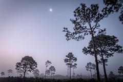 Moon over foggy forest (Ed Rosack) Tags: longexposure sky usa moon mist tree fog pine landscape lowlight florida palm astronomy titusville centralflorida merrittislandnationalwildliferefuge minwr biolabroad edrosack