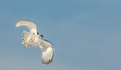 Snowy in flight (Kevin Povenz) Tags: blue white bird up fly inflight wings michigan flight january bluesky owl upnorth upperpeninsula birdsofprey saultstemarie snowyowl 2016 sigma150500 canon7dmarkii kevinpovenz