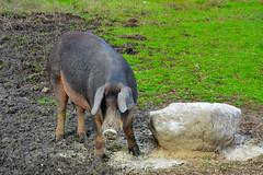 Cerda Iberica (J.MIGUEL FLORES) Tags: campo animales lechon cerda comiendo cerdo patanegra guarra guarro pastando
