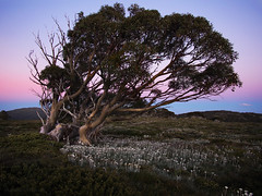 High country snowgum_c (gnarlydog) Tags: flowers sunset nature grass daisies evening purple dusk australia weathered twisted goldenhour eveninglight snowgum snowymountains