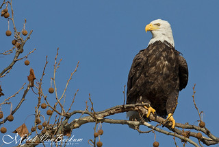 The Look of Contempt (American Bald Eagle)