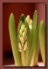 Hyazinthe (Hyacinthus) (p_jp55 (Jean-Paul)) Tags: flower fleur blume hyacinth bloem hyacinthus hyazinthe