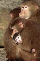 Hamadryas baboon Emmen JN6A8891 (j.a.kok) Tags: baboon emmen baviaan hamadryasbaboon papiohamadryas mantelbaviaan