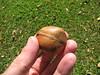 starr-091104-9144-Castanospermum_australe-fruit_in_hand-Kahanu_Gardens_NTBG_Kaeleku_Hana-Maui (Starr Environmental) Tags: castanospermumaustrale